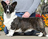 Welsh corgi cardigan Pluperfect Merrymoon PROPER BLOKE