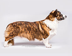 Brindle welsh corgi cardigan Pluperfect Merrymoon PATHFINDER