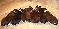 Welsh corgi cardigan puppies in Zhacardi Kennel
